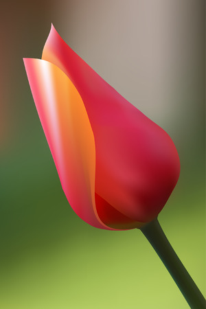 Vector - Realistic illustration of a tulip. Contains gradient mesh. Vector