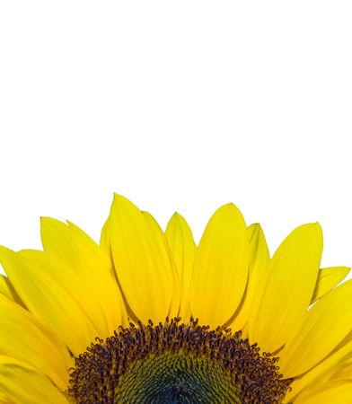 Bright yellow fresh sun flower with copy space Stock Photo - 6826637