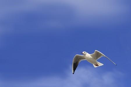 Blanca Paloma volando con alas abiertas contra el cielo azul  Foto de archivo - 7588089