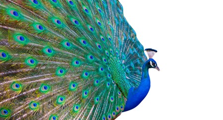 peacock design: Bright colored peacock with white copy space Stock Photo
