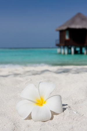 Close up of a white frangipani on a sandy beach with a water villa in the background