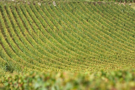 western europe: Vineyard in vosne romanee, burgundy, france during autumn or harvest season