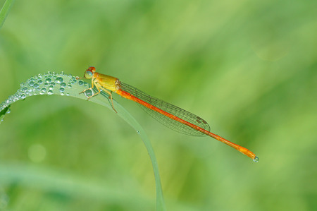 damselfly: Ceriagrion auranticum,an orange damselfly stop on a dewy grass leaf