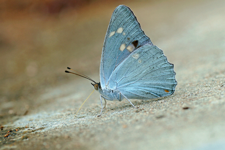 nymphalidae: Helcyra subalba,a kind of beautiful white butterfly