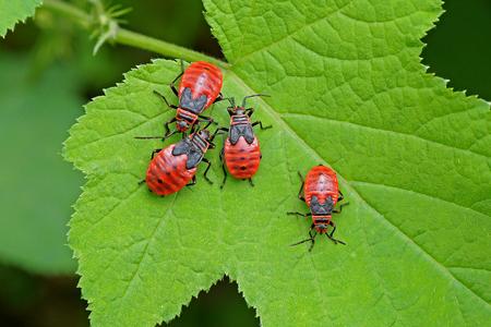 shieldbug: four nymphs of stinkbug on a green leaf