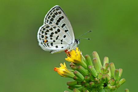 lycaenidae: Lycaenidae butterfly, Chinas smallest butterfly on a flower, Tongeia filicaudis,the smallest Butterfly in China Stock Photo