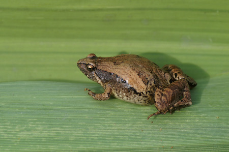 a ornate narrow-mouthed frog on green background