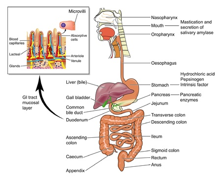 capillaries: The human gastrointestinal tract (GIT)