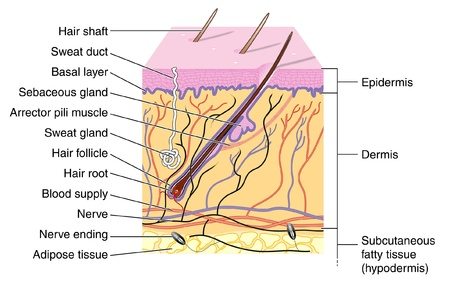 dermis: Cross section of skin showing hair follicle Illustration