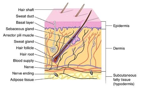 epiderme: Section efficace de peau montrant le follicule pileux