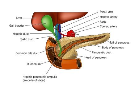 Anatomia trzustki i relacji dwunastnicy i wÄ…troby Zdjęcie Seryjne - 9933713