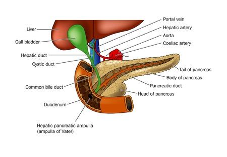 Anatomie des Pankreas und die Beziehung zu Duodenum und Leber