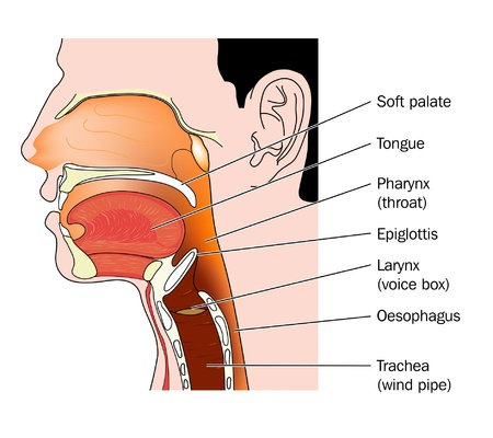 throat: Cross section of the nose and throat