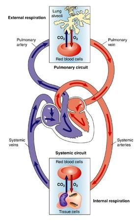 Lo scambio di gas tra i polmoni, bood e tessuti Vettoriali