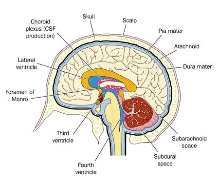 ventricle: Corte transversal del cerebro humano