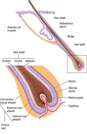 follicle: Del tallo del pelo y el fol�culo