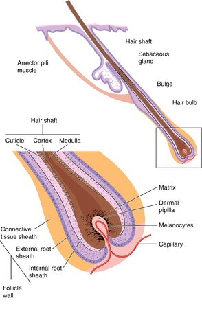 Hair shaft and follicle
