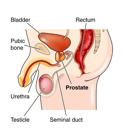 testes: Male genitalia showing position of the prostate gland