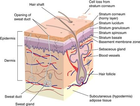 вал: Сечение кожи показывая волосяной фолликул