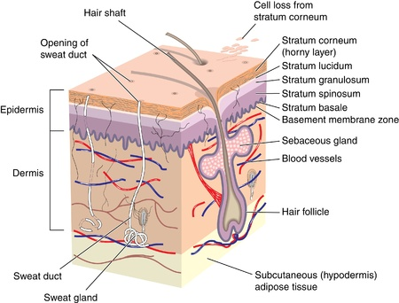 epiderme: Coupe transversale de la peau montrant follicule pileux