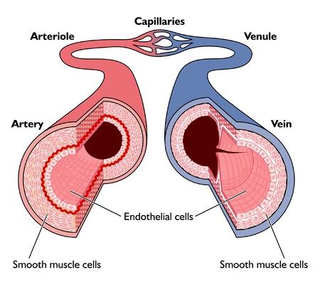 vasos sanguineos: Secci�n transversal de la arteria y la vena