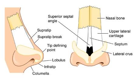 nasen: Anatomie der Nase