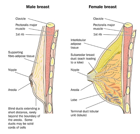 nipple breast: Cross section of male and female breast tissue Illustration