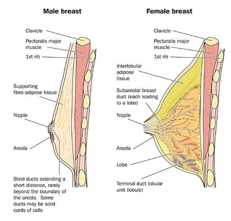 senos: Secci�n transversal del tejido del seno masculino y femenino