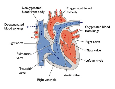 blood flow: Il progresso del sangue attraverso il cuore Vettoriali