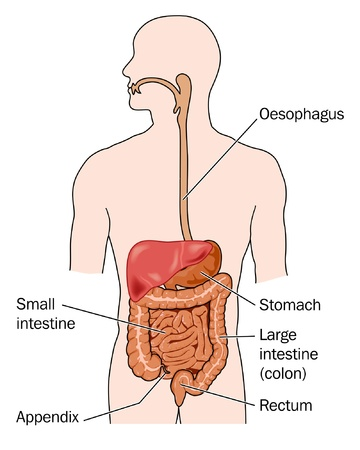large intestine: Gastrointestinal tract and liver Illustration