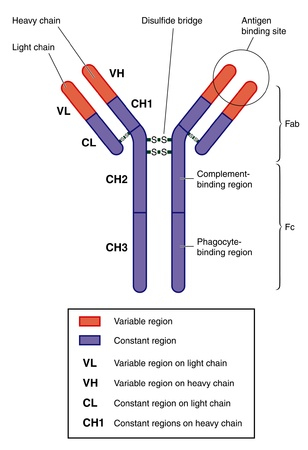 antigen response: Structure of a typical antibody Illustration