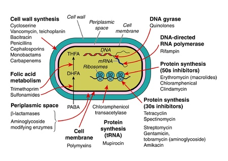 Bacterial structure and antibiotic action Illustration