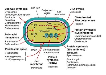 bacterial: La struttura e l'azione batterica agli antibiotici