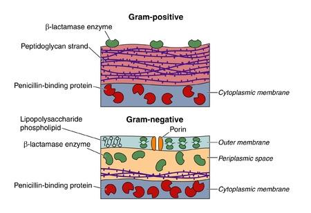 bacterial infection: Bacterias Gram-positivas y Gram-negativas