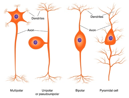 axon: Basic neuron types