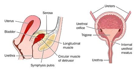uretra: La vejiga urinaria