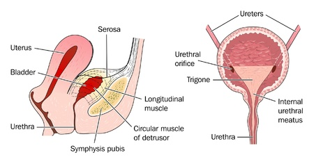 urethra: The Urinary Bladder