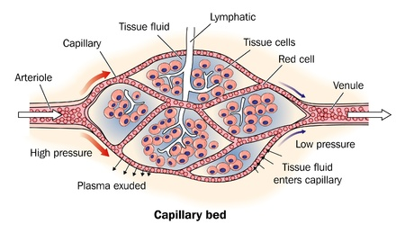 capillaries: Detail of capillary bed