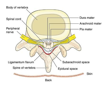 척수: 척추를 통해 단면