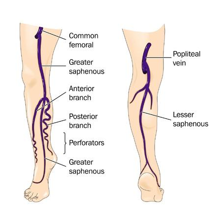Veins of the leg Illustration