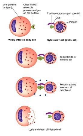 Células T complejo