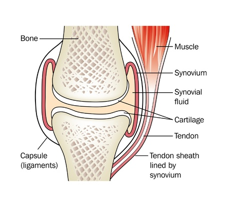 cartilage: Synovial joint Illustration