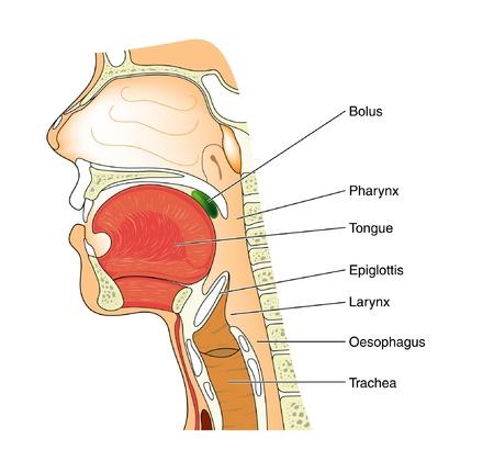 esófago: Esquema del mecanismo de la deglución