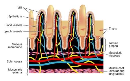 intestino: Las pequeñas vellosidades intestinales Vectores