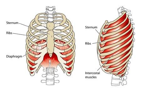 Ribs and diaphragm Illustration