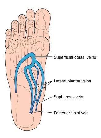 Las venas de los pies