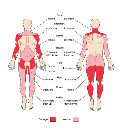 Skeletal muscle types
