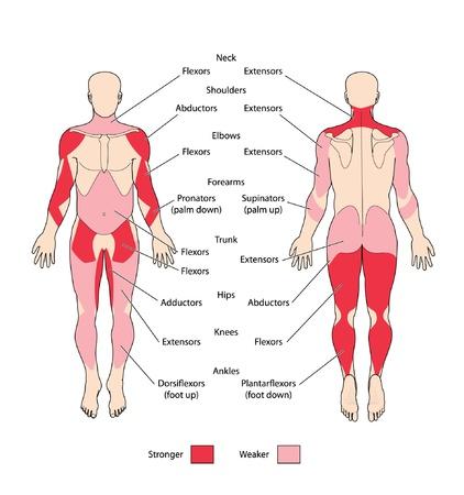 Tipos de músculo esquelético Ilustración de vector