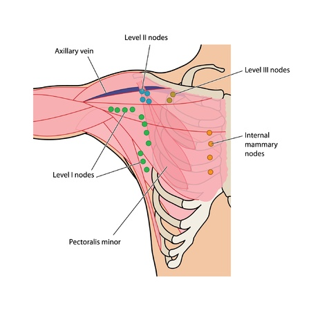 Lymph nodes of the axilla