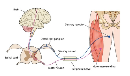 Nerve control of muscle Illustration